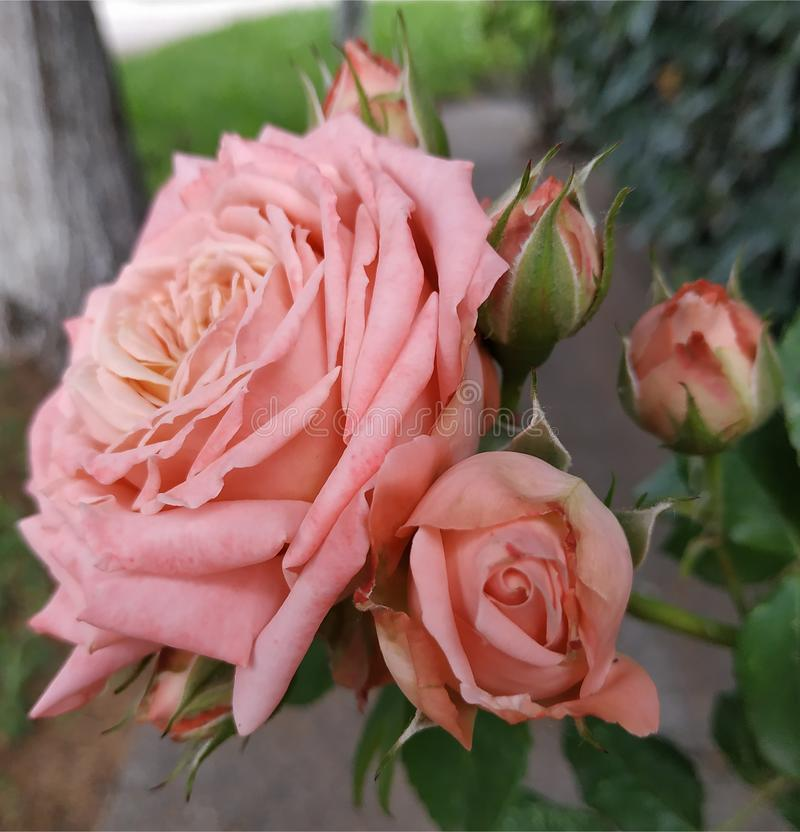 Rosa linda del rosa El grande con los ni?os imágenes de archivo libres de regalías