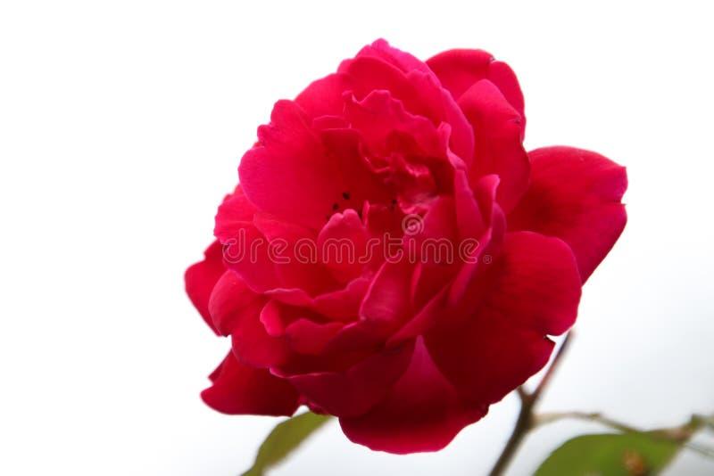 Rosa lindo do vermelho fotografia de stock