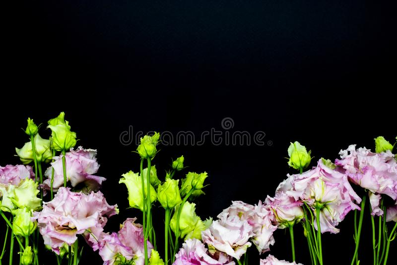 Rosa Lisianthus på en svart bakgrund, fritt utrymme för din text arkivfoton