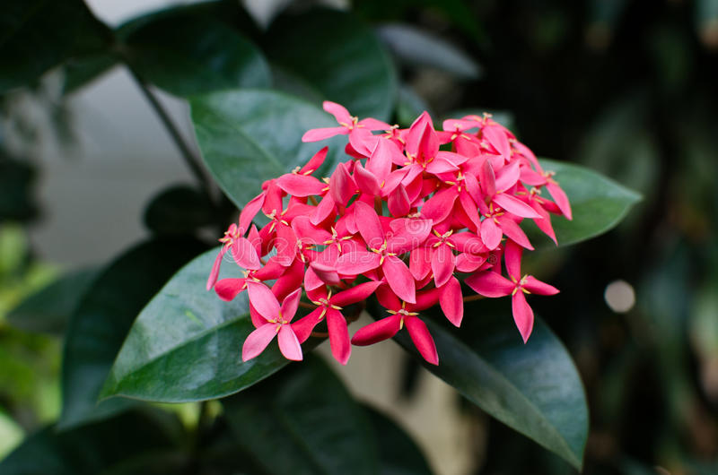 rosa litet för blommor Stängt upp royaltyfri bild