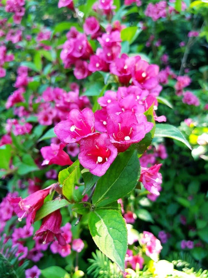 rosa litet f?r blomma royaltyfri bild