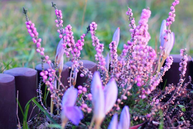 Rosa ljung- och lilakrokus i trädgård arkivfoton