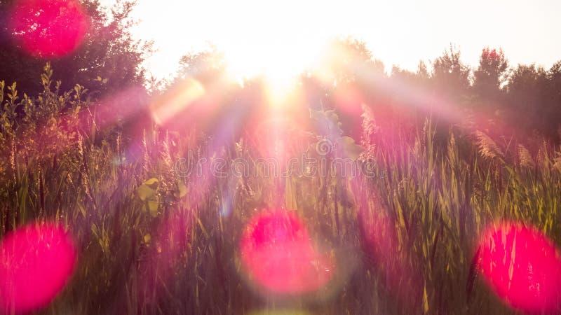 Rosa ljusa strålar och signalljus över fälten royaltyfri foto
