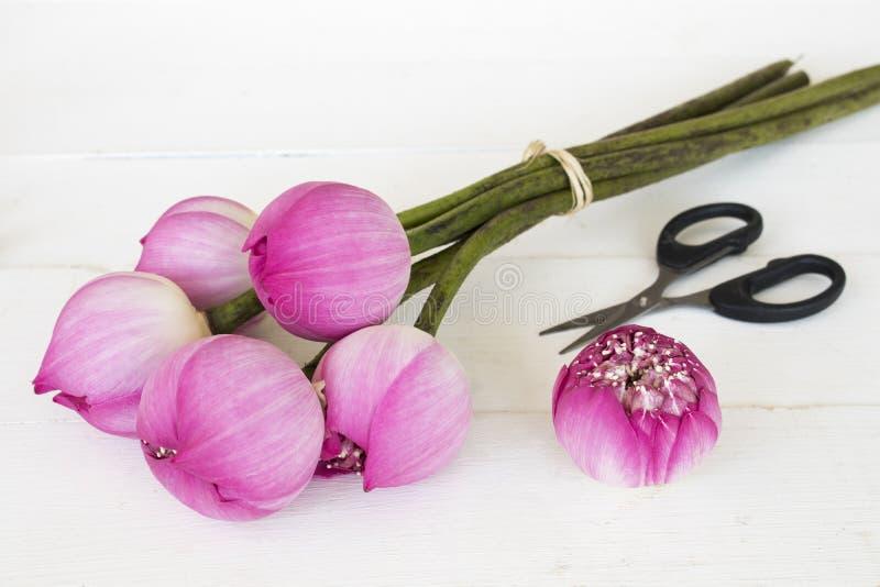 Rosa lokal för lotusblommablommor av asia garnering på vit royaltyfri bild