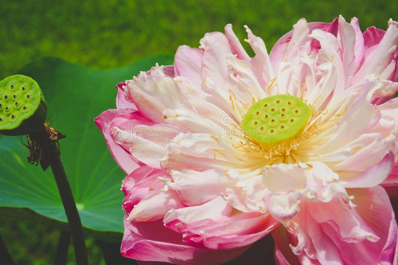 Rosa Lotos Nelumbo nucifera Blüte, die im Teich, dharma Konzept blüht lizenzfreie stockfotos