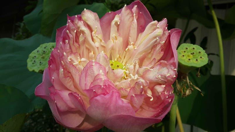 Rosa Lotosblume und seedpods stockfotografie