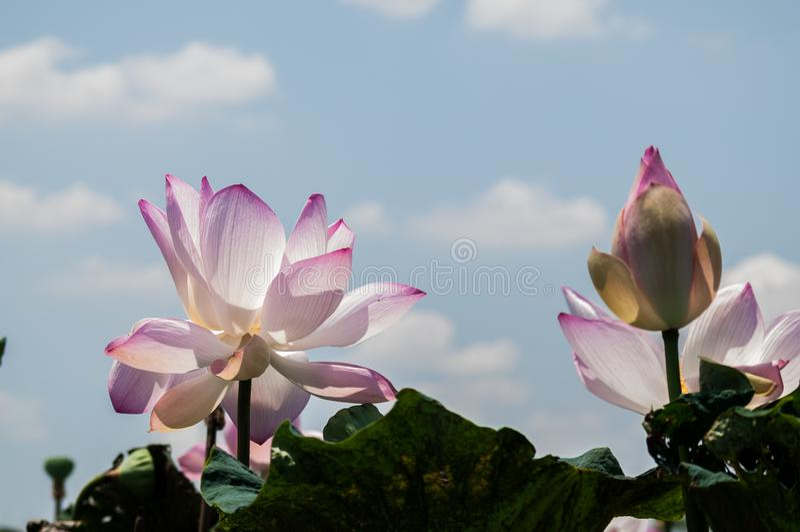 Rosa Lotosblumen gegen blauen Himmel mit Wolken stockfotografie