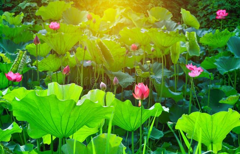 Rosa Lotosblumen- und Lotosblumenanlagen im Teich stockbild
