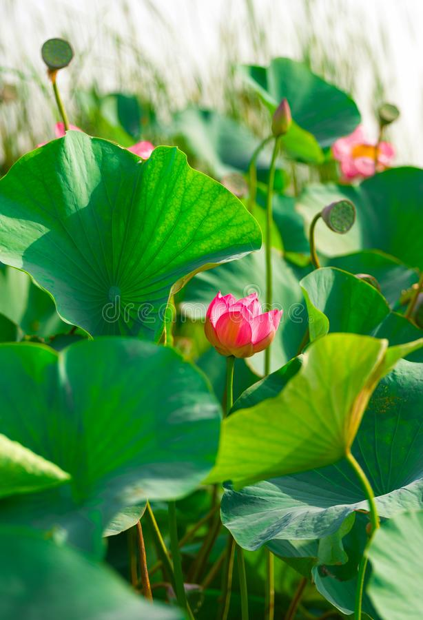 Rosa Lotus-Blume im wilden, umgeben durch große grüne Blätter stockfotografie