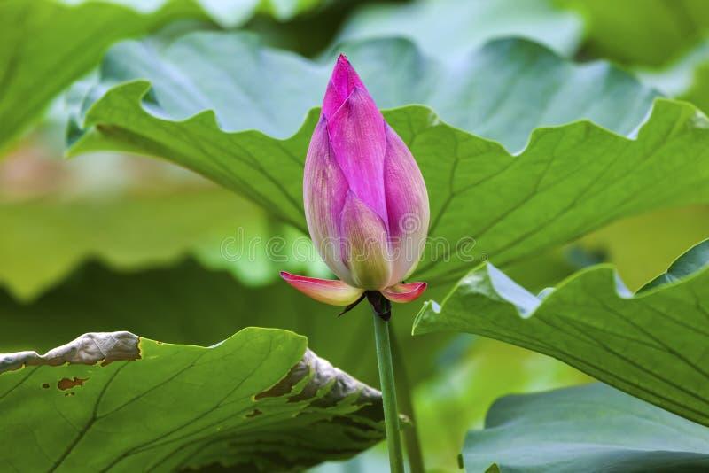 Rosa Lotus Bud Close Up Beijing China stockfoto