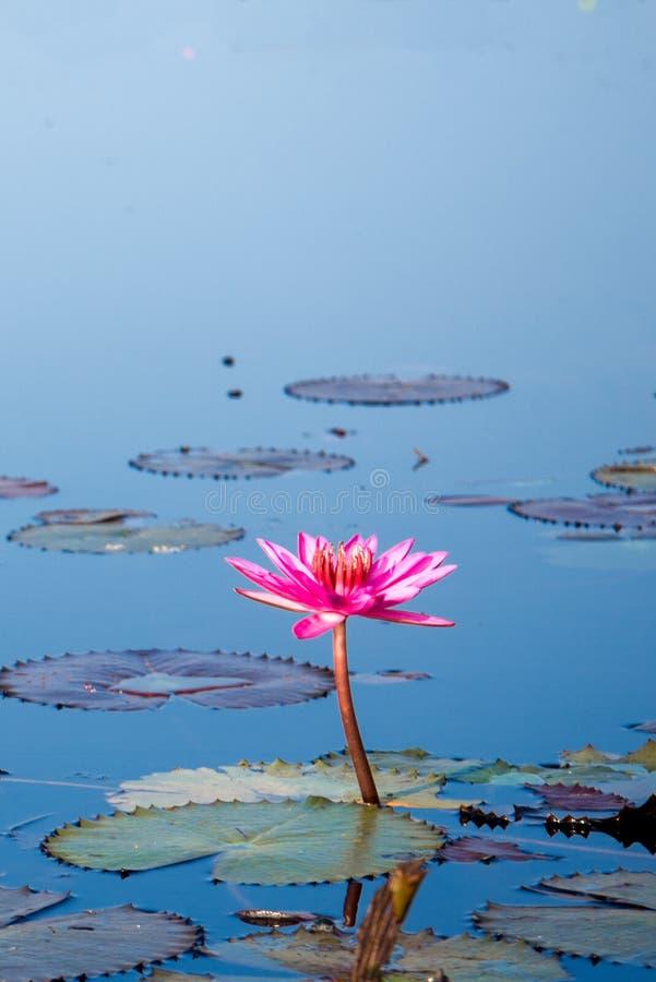 Rosa Lotus i sjön på thale noi, Phatthalung, Thailand fotografering för bildbyråer