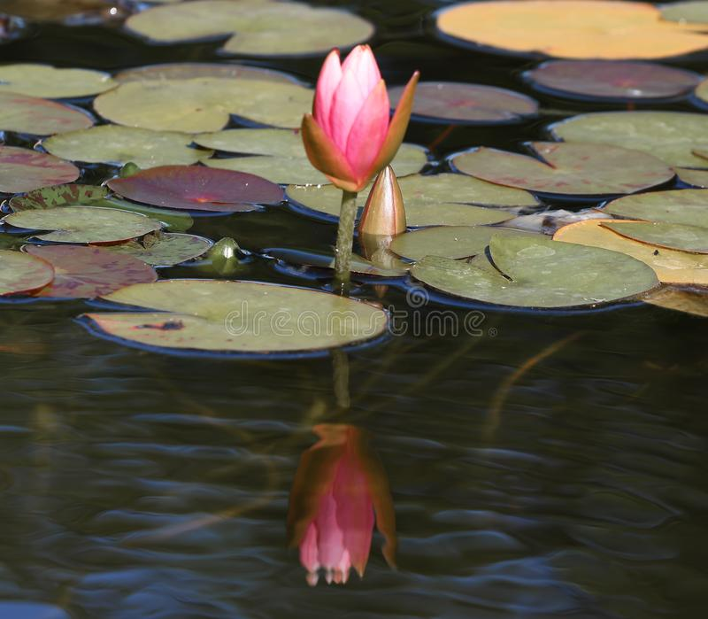 Rosa Lotus med stängda kronblad och blad näckros, vattenväxt med reflexion i ett damm med mirky vatten arkivfoto