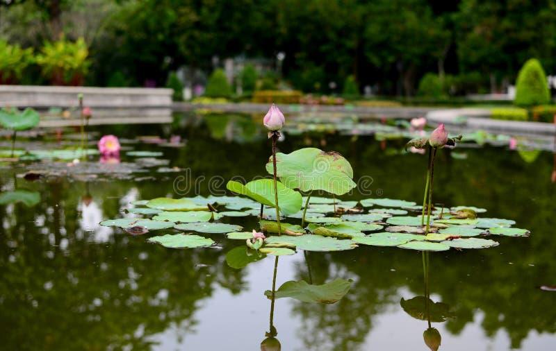 Rosa Lotus mit Blättern im Wasserpool lizenzfreies stockbild