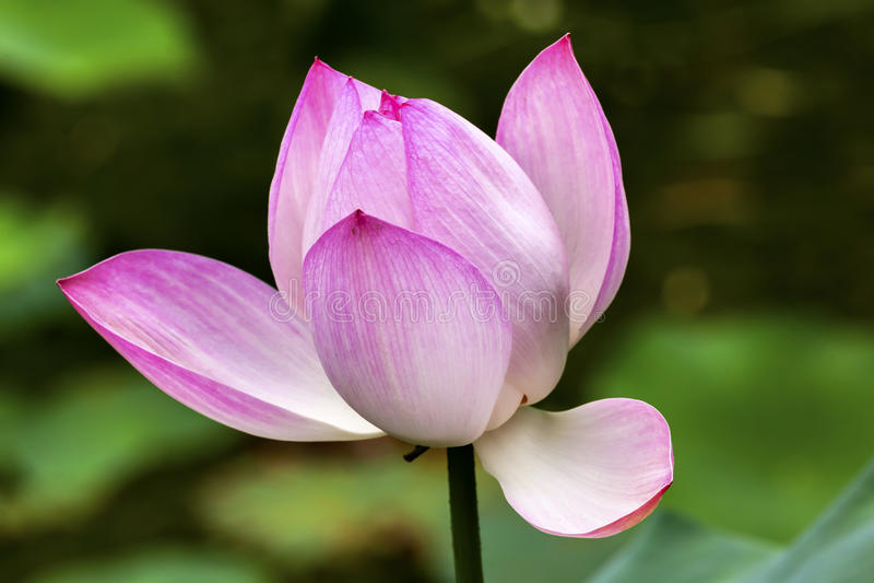 Rosa Lotus Pond Temple Sun Beijing China stockbild