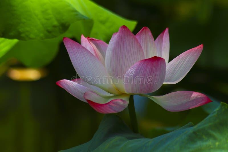 Rosa lotusblomma arkivfoton