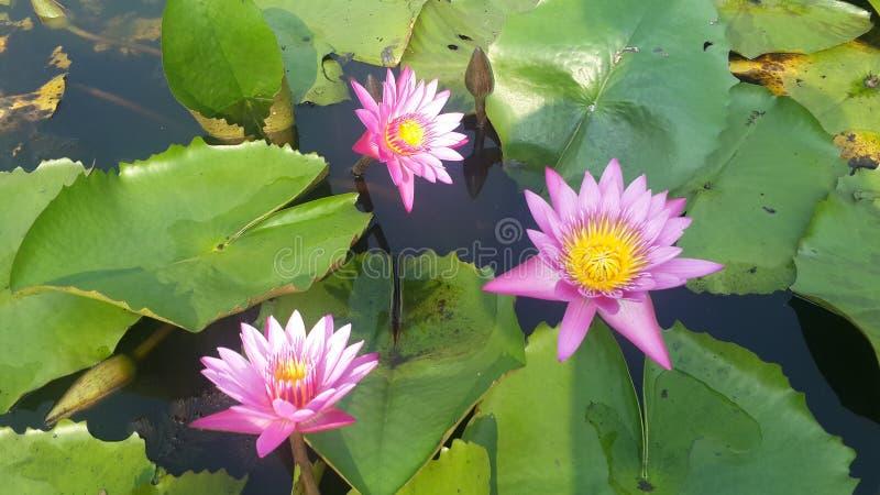 Rosa lotusblomma Blom som är blom- arkivfoton