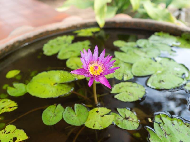 Rosa lotusblomma blomstrar, eller näckrons blommar att blomma på dammet, rosa lotusblomma, rosa färg blommar royaltyfria bilder