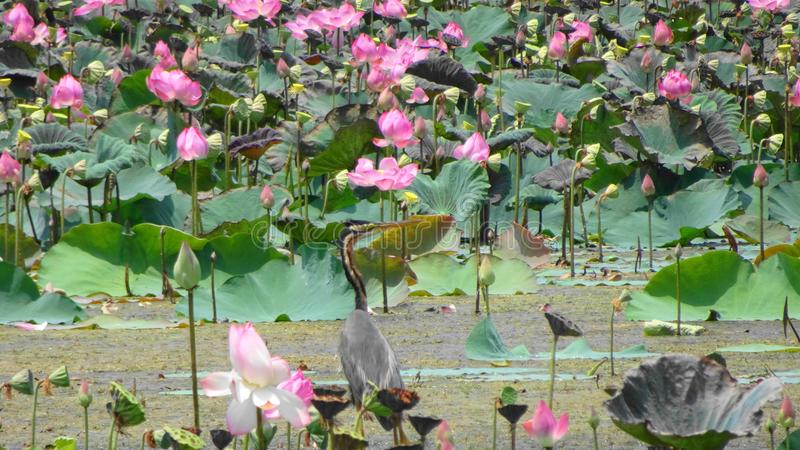 Rosa lotusblomma royaltyfria bilder