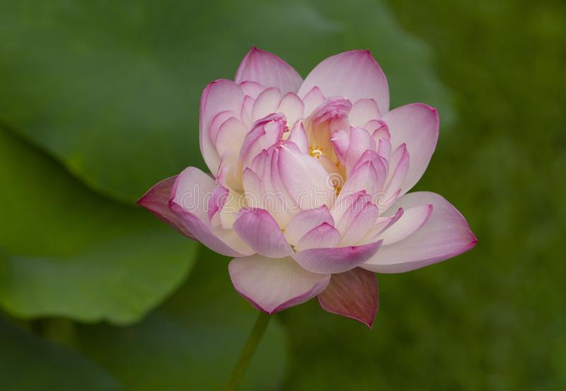 Rosa lotusblomma med gr?na leaves arkivfoton