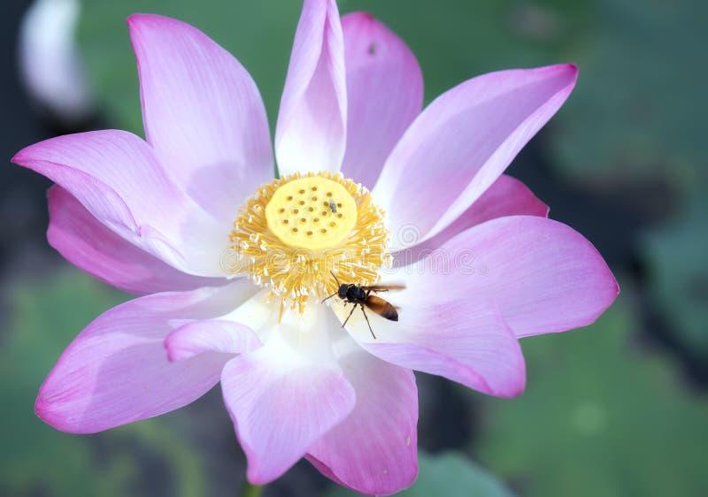Rosa lotusblomma som blomstrar i dammet med biet arkivbilder