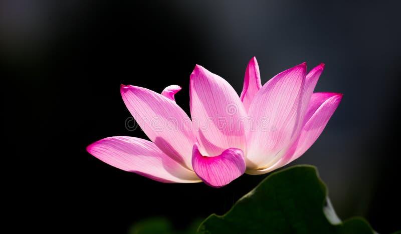 Rosa lotusblommablomma royaltyfri bild