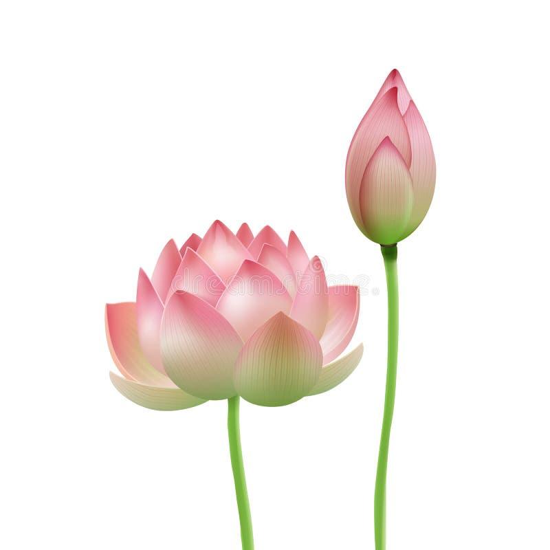 Rosa lotusblommablomma vektor illustrationer