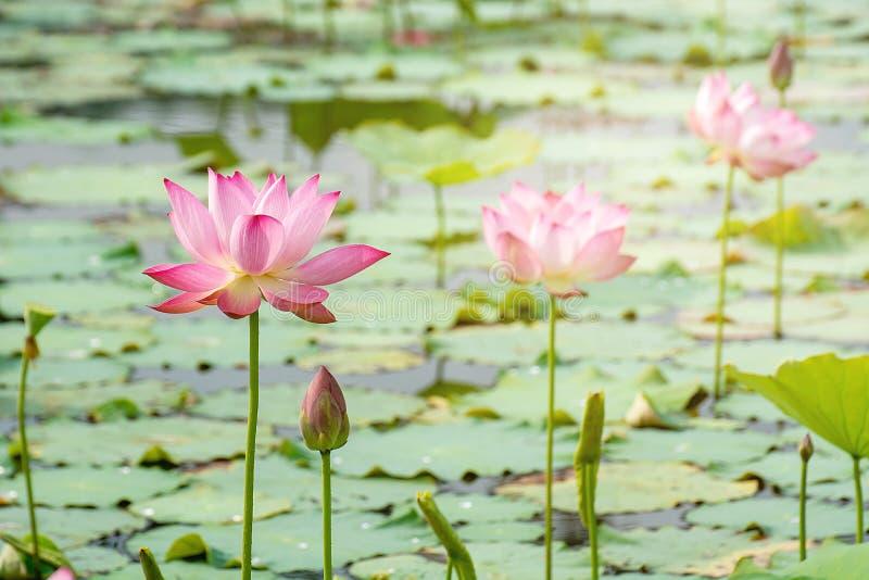 rosa lotusblommablomma som blommar bland frodiga sidor i dammet under brigh arkivbild