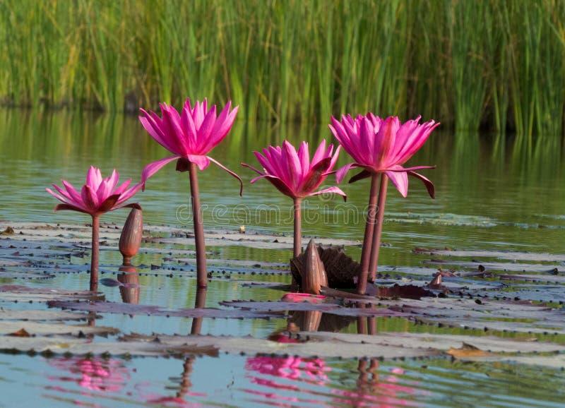 Rosa lotusblommablommor i en sjö, reflexion i vatten royaltyfria bilder