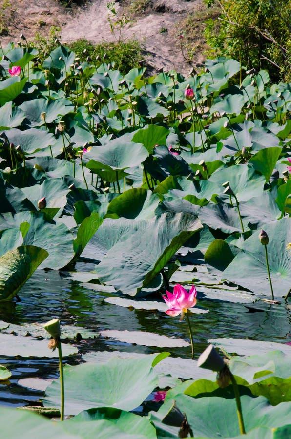 Rosa lotusblommablommor och gräsplansidor på dammet arkivfoto