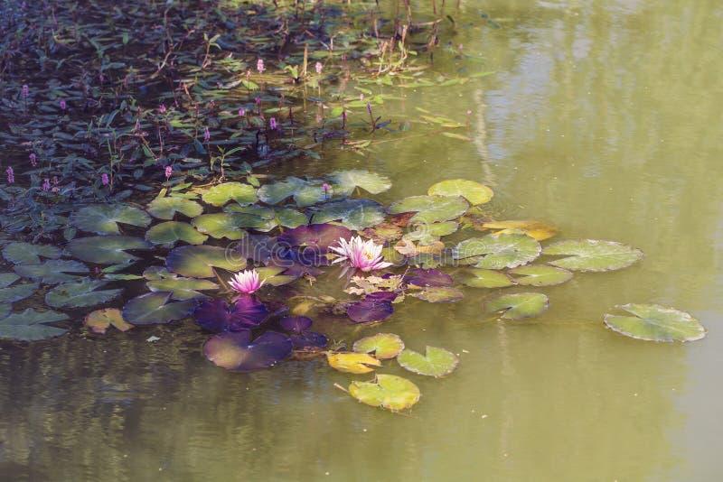 rosa lotusblommasjö royaltyfria foton