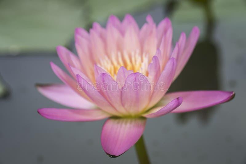 Rosa lotusblommor för Closeup med gröna sidor på sjön, Thailand royaltyfria bilder