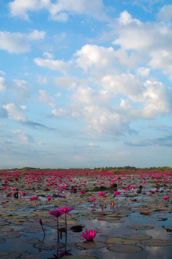 Rosa lotusblommor i sjön arkivfoto