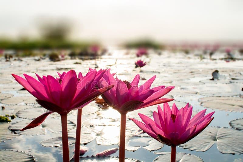 Rosa lotusblommor i sjön royaltyfri fotografi