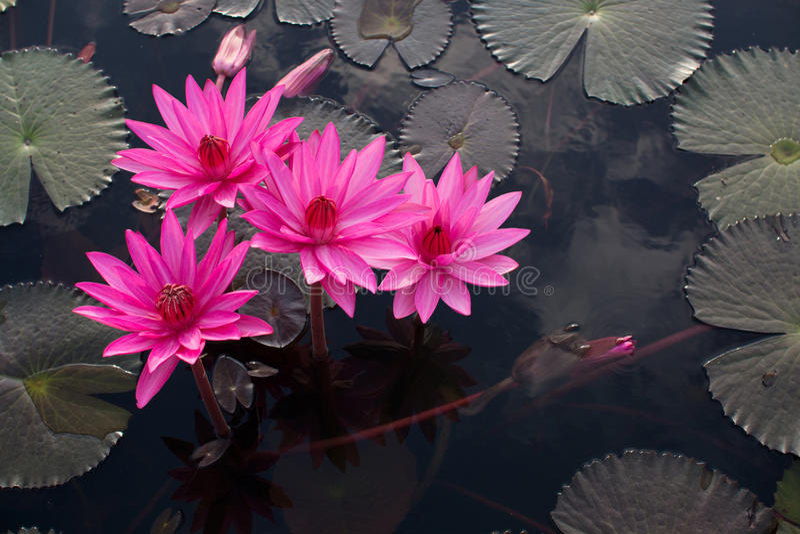 Rosa lotusblommor i sjön royaltyfri bild