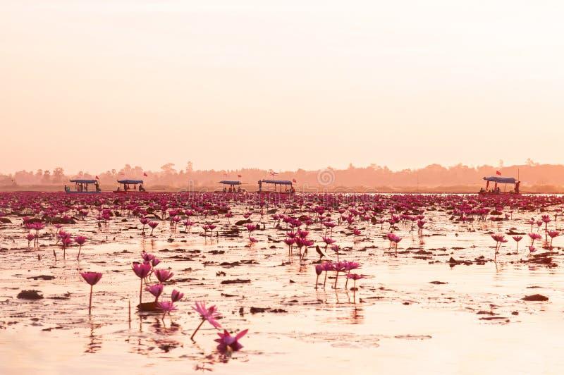Rosa Lotuswasser blüht voll gegen Morgenlicht - reiner und schöner roter Lotussee in Nong Harn, Udonthani - Thailand stockbilder