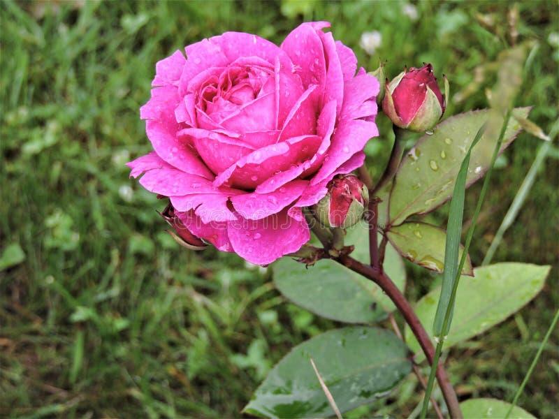 Rosa rosa luminosa dopo pioggia nel parco di estate di Mosca immagine stock