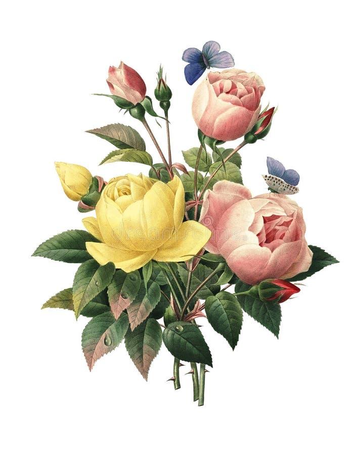 Rosa Lutea e Rosa indica   Illustrazioni del fiore di Redoute illustrazione vettoriale