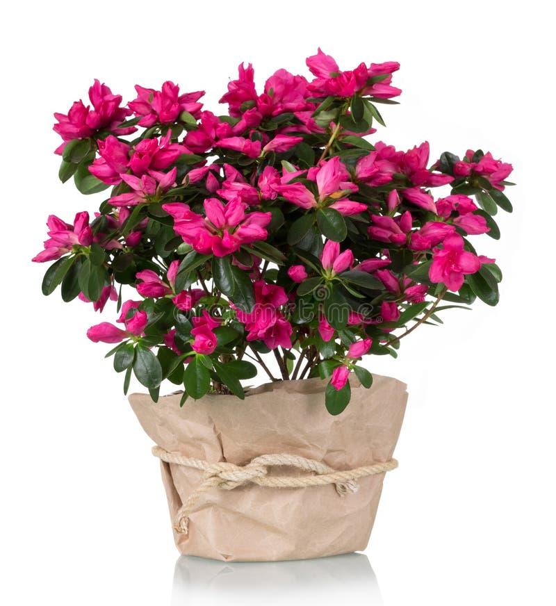 Rosa luxuoso da flor da azálea no potenciômetro isolado no branco foto de stock royalty free