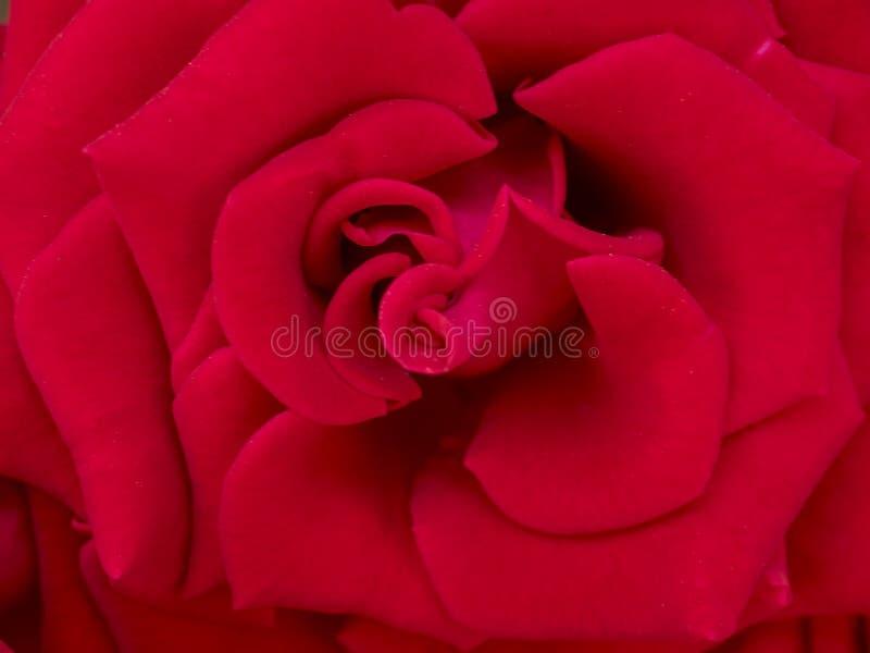 Rosa mágica suave roja, imagen artística apacible romántica fotografía de archivo libre de regalías