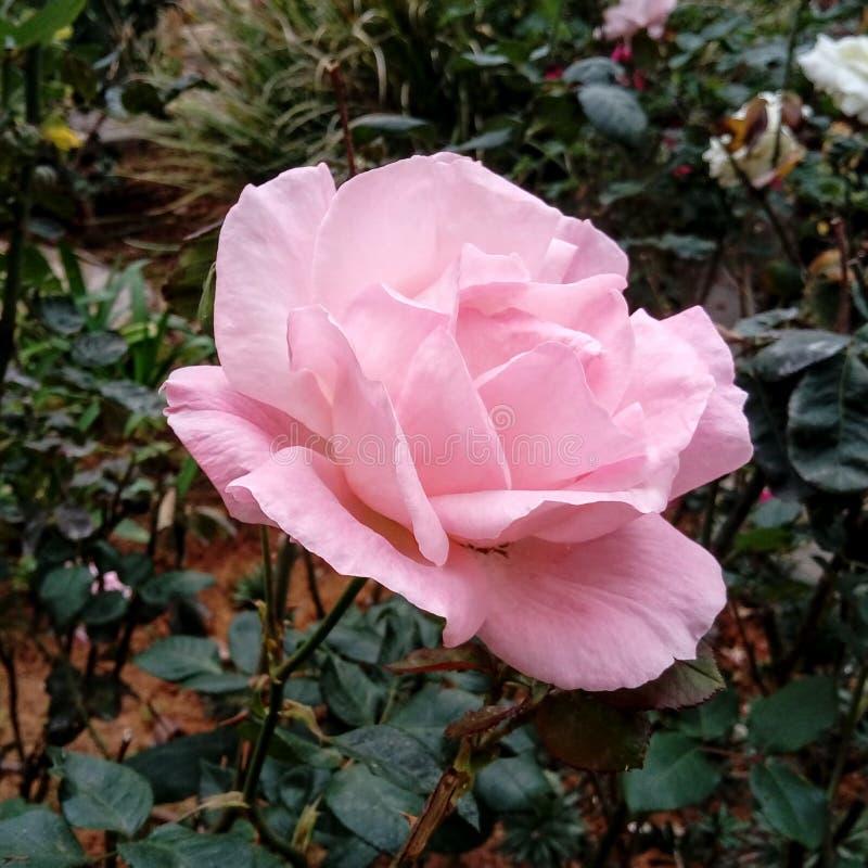 Rosa macia do rosa foto de stock royalty free