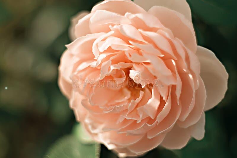 Rosa macio de Rosa em um fundo verde foto de stock