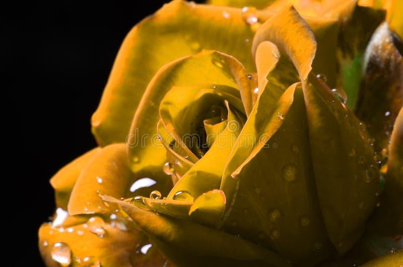 Rosa macra amarilla con rocío imágenes de archivo libres de regalías