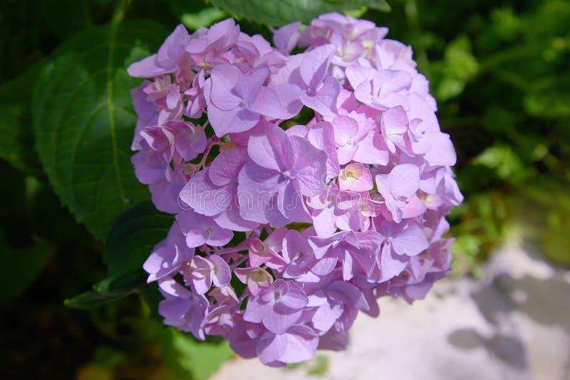 Rosa, macrophylla blu, lilla, viola, porpora dell'ortensia del fiore dell'ortensia che fioriscono in primavera ed estate in una f immagine stock
