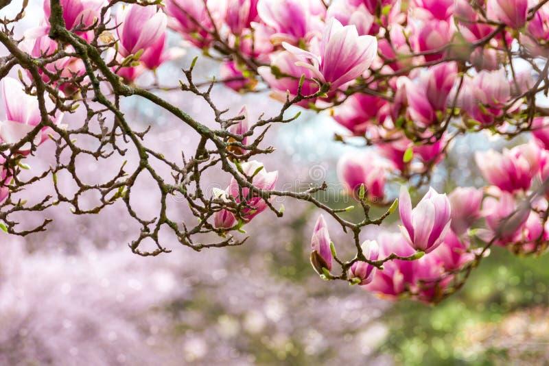 Rosa magnolia royaltyfri fotografi