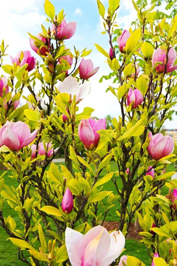 Rosa magnolia royaltyfri bild