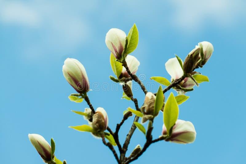 Rosa magnoliablomma för par royaltyfri fotografi