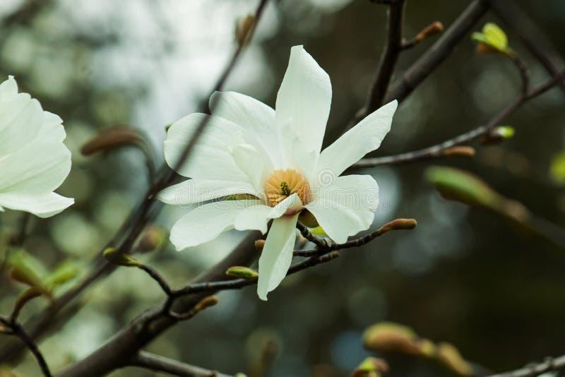 Rosa magnoliablomma för par arkivbild