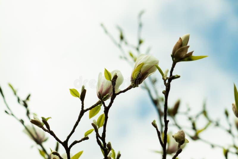 Rosa magnoliablomma för par royaltyfria bilder