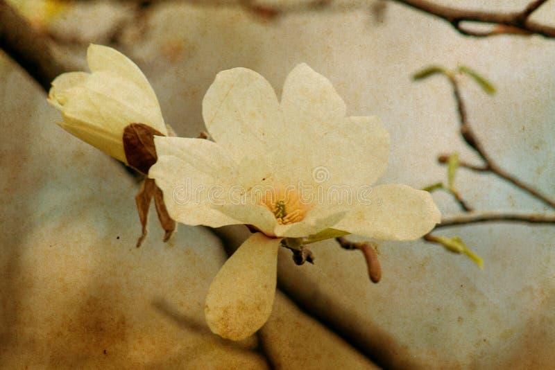 Rosa magnoliablomma för par fotografering för bildbyråer