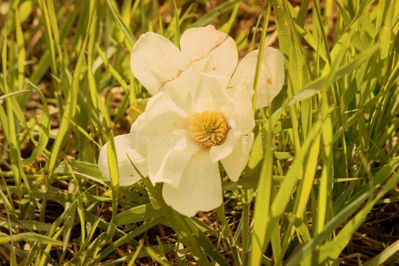 Rosa magnoliablomma för par arkivfoto